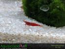 Fire Red Neocaridina Shrimp - 10 Pack