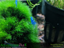 Blue Neocaridina Shrimp - 5 Pack