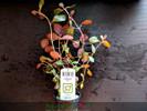 Ludwigia Repens 'Rubin'