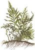 Bolbitis Heudelotii