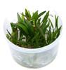Helanthium tenellum 'Green' 1-2-Grow! Cup