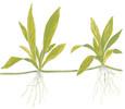 Helanthium Quadricostatus 1-2-Grow! Cup