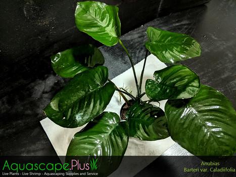Anubias Barteri Caladiifolia