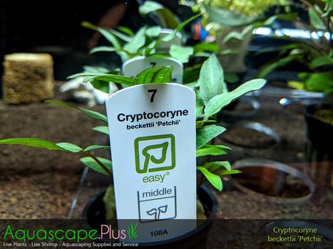 Cryptocoryne Beckettii 'Petchii'