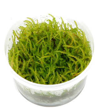 Vesicularia Ferriei 'Weeping' Moss 1-2-Grow! Cup
