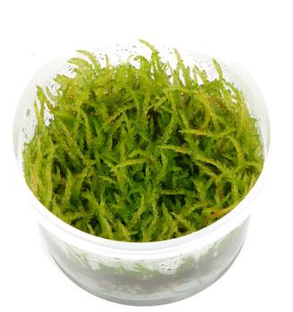 Vesicularia Ferriei 'Weeping' Moss 1-2-Grow! Cup