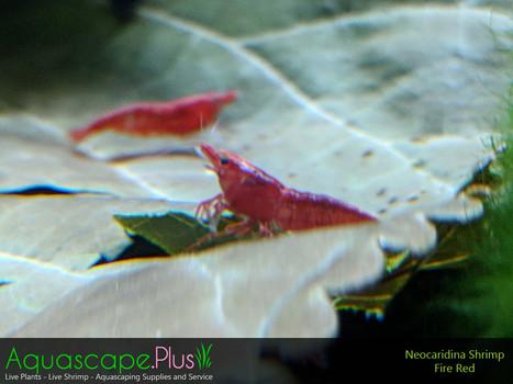 Fire Red Neocaridina Shrimp - 5 Pack