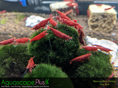 Fire Red Neocaridina Shrimp - 20 Pack