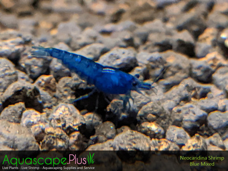Blue Neocaridina Shrimp - 5 Pack