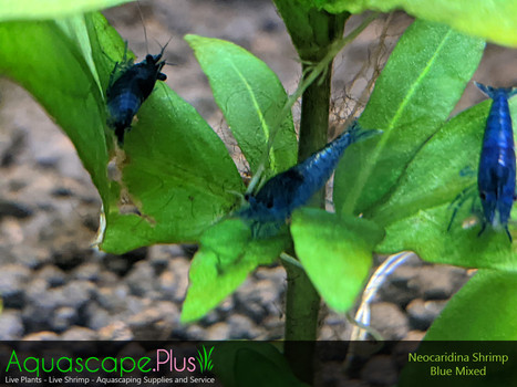 Blue Neocaridina Shrimp - 10 Pack