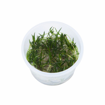 Littorella Uniflora 1-2-Grow! Cup