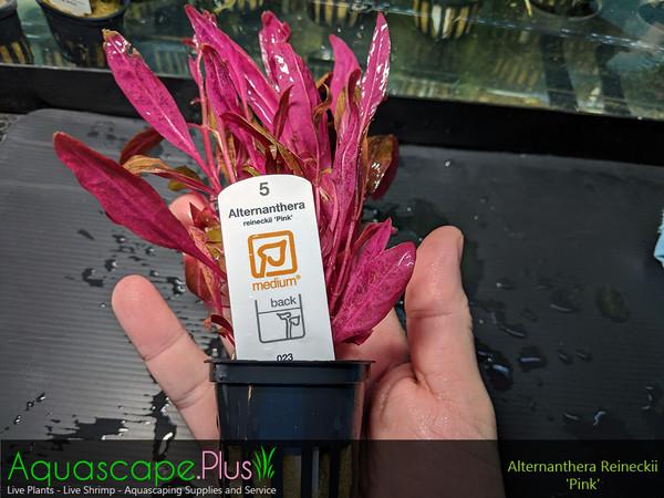 Alternanthera Reineckii 'Pink'