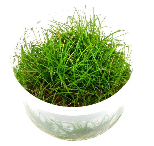 Eleocharis Acicularis 'Mini' 1-2-Grow! Cup