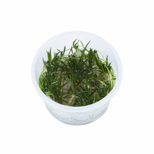 Littorella Uniflora 1-2-Grow! Cup