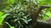 Bucephalandra sp. 'Red'
