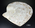 "Mother of Pearl Shell Dish 4.5""-6"" (SHELL-MOP)"
