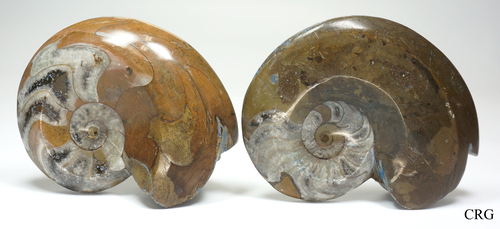 """Polished Brown Goniatite / Ammonite Fossil 3""""-4"""""""