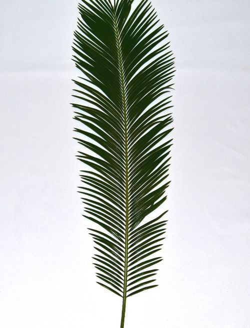 Palm Sunday Sago Palm - BAG/4
