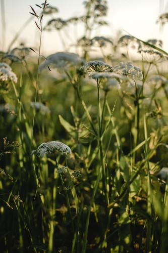 6 Reasons to Grow Yarrow