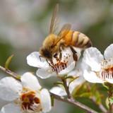 Why Manuka Honey?