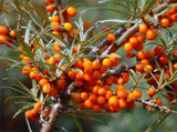 What Is Sea Buckthorn & What Are Its Uses?