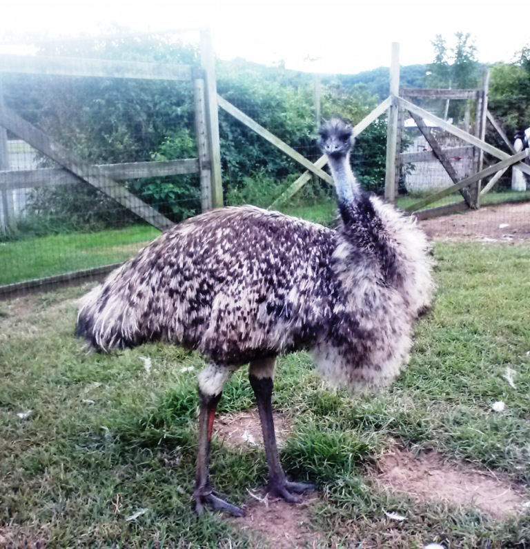 Adult Female Emu Songline Emu Farm