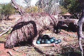 Male Emu Sitting On Nest In Wild