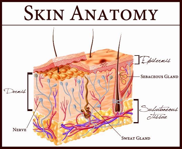 skin-anatomy-2.jpg