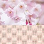 migusa-sakura.jpg