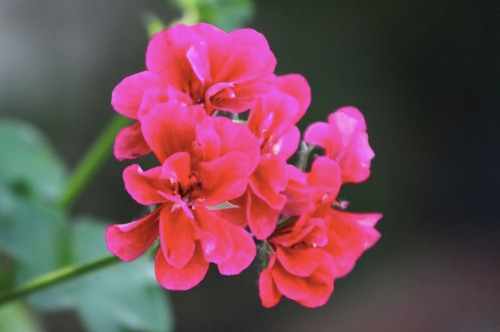 Jentri Quinn - Restorative Rose Geranium Mist