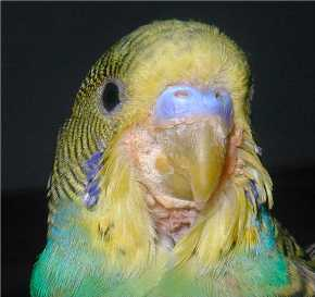budgie-with-scaly-face.jpg