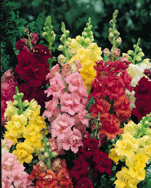 """SNAPDRAGON ASSORTED ANNUAL 4.3"""""""