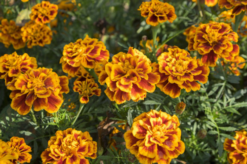 4 PACK ANNUAL MARIGOLD