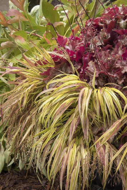 GOLDEN JAPANESE FOREST GRASS 'AUREOLA'