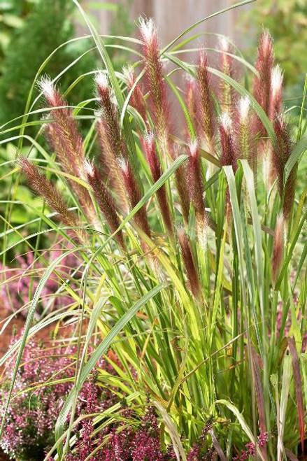 GRASS RED HEAD FOUNTAIN