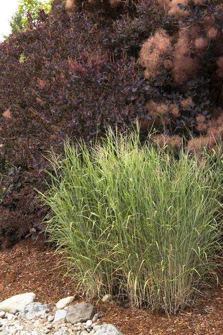 GRASS SWITCH HEAVY METAL BLUE