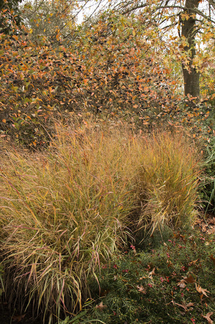 GRASS SWITCH SHENANDOAH
