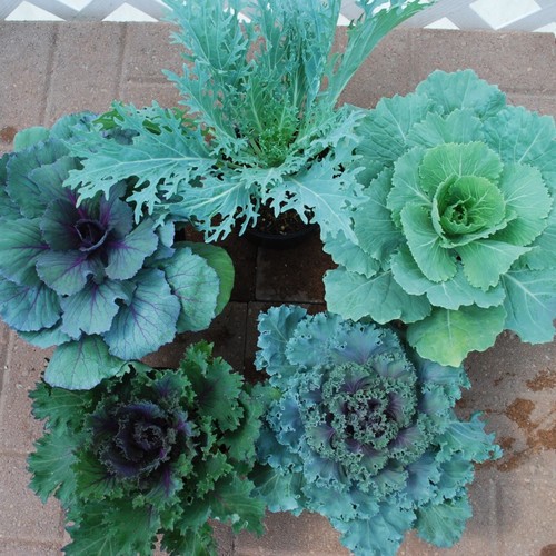 """8"""" ORNAMENTAL CABBAGE OR KALE"""