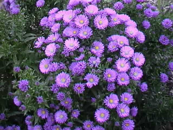 4 PACK ANNUAL ASTER