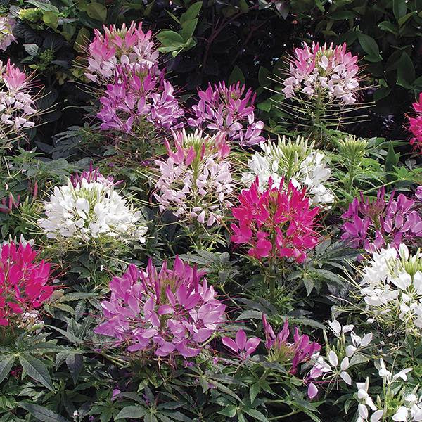 4 PACK ANNUAL CLEOME MIX