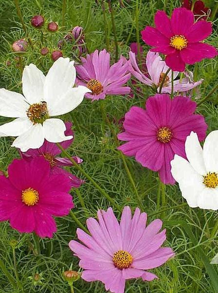 4 PACK ANNUAL COSMOS MIX
