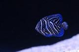 Quality Marine Receives Aquacultured Juvenile Koran Angel (Pomacanthus semicirculatus)