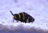 Carnivorous Snails For The Saltwater Aquarium