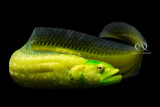 Oddball Alert - Green Wolf Eel