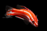 Photo of the Week - Candy Cane Hogfish