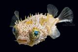 Chilomycterus Antennatus - Bridled Burrfish