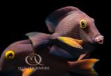 Herbivorous Fish Feeding With Nutramar