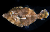 """Cute and Useful: The Matted """"Aiptasia-eating"""" Filefish"""