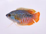 Gouramis, the friendly community fish