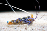 The Care and Display of Spiny Rock Lobsters